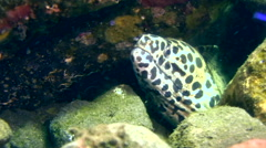 Black-spotted, Honeycomb or Laced moray (Gymnothorax favagineus) Stock Footage