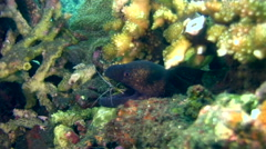 Yellow-edged moray (Gymnothorax flavimarginatus) cleaned by cleaner shrimp Stock Footage