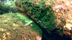 Chromodoris fidelis Stock Footage