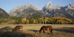 Horses grazing in pasture with the Grand Tetons in background Stock Footage