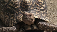 Leopard tortoise large and attractively marked tortoise Stock Footage