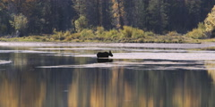 Moose feeding in Snake River at Grand Teton National Park in Wyoming Stock Footage