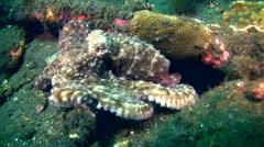 Common reef octopus (Octopus cyanea) Stock Footage