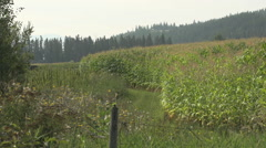 Agriculture, edge of cornfield, late summer Stock Footage