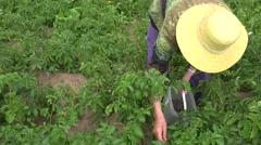 Elderly countrywoman gather potato colorado bug in garden. 4K Stock Footage