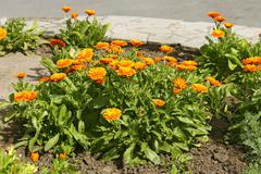 Calendula flowering on flowerbed - stock photo