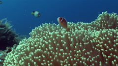 Pink anemonefish (Amphiprion perideraion) Stock Footage