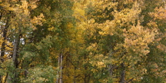autumn aspen trees in Grand Teton National Park in Wyoming - stock footage