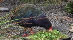 Takahe eat food Stock Footage