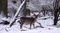4k Fallow Deer in dreamy snow winter forest landscape Footage