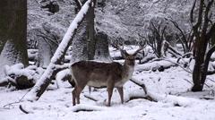 4k Fallow Deer in dreamy snow winter forest landscape Stock Footage