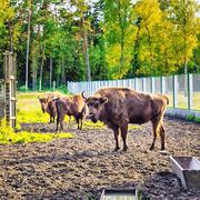 European Bison In Wildlife Sanctuary - stock photo