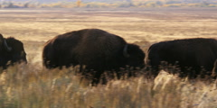 Bull bison running in grasslands at Grand Tetons National Park in Wyoming Stock Footage