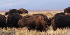 Bison herd at Grand Tetons National Park in Wyoming Stock Footage