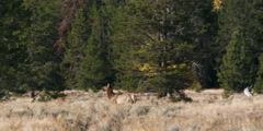 Elk running along the forest at Grand Teton National Park in Wyoming Stock Footage