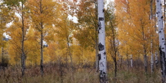 autumn aspen woods in Grand Teton National Park in Wyoming - stock footage