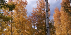 Autumn aspen tree grove in Grand Teton National Park in Wyoming Stock Footage