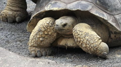 Two Galapagos tortoise mating Stock Footage