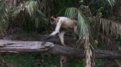Spider monkey sit on a tree log Stock Footage