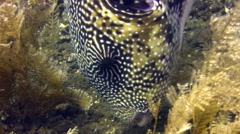 Map pufferfish (Arothron mappa) eating sponge Stock Footage