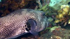 Starry pufferfish (Arothron stellatus) Stock Footage