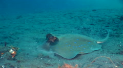 Blue-spotted stingray (Dasyatis kuhlii) Stock Footage