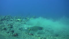 Blue-spotted fantail ray (Taeniura lymna) digging the sand for food Stock Footage