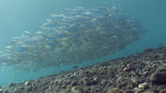 Yellow-striped scad (Selaroides leptolepis) in school Stock Footage