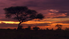 Acacia tree silhouetted against Serengeti sunset, Tanzania Stock Footage