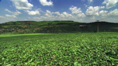 Tea plantation in Uganda, East Africa Stock Footage