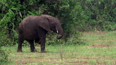 Elephant eating branch while crossing a clearing in Uganda woodlands Stock Footage