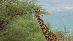 Close-up of giraffe's neck and head, Tanzania Stock Footage