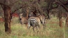 Three zebras relaxing near acacia grove, Tanzania - stock footage