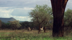 Zebra herd crossing grassy clearing, Tanzania Stock Footage