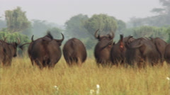 Cape buffalo herd retreating across grassy plain, Uganda Stock Footage