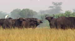 Egrets and Cape buffalo mingling on African savanna Stock Footage