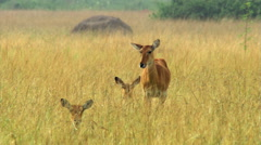 Impalas resting in tall grass on African savanna Stock Footage