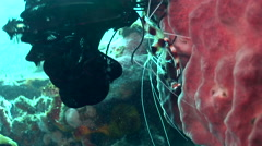 Boxer shrimp (Stenopus hispidus) Stock Footage