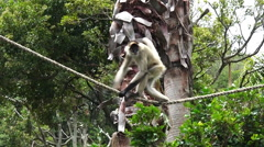 Spider monkey play on a rope Stock Footage
