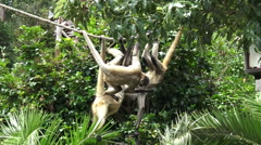 Group of Spider monkeys play on a rope Stock Footage