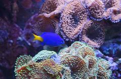 Aquarium fish blue color Stock Photos
