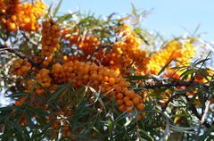 Orange cornelian cherry on tree Stock Photos