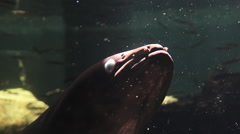 New Zealand longfin eel swim underwater Stock Footage