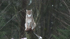 Eurasian Lynx ( Lynx lynx) in winter forest - stock footage
