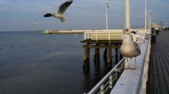 Large gray seagull on the pier Stock Footage