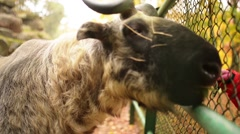 Bhutan Takin (Budorcas taxicolor whitei) - stock footage