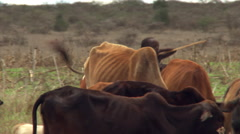 Young African herdsman driving cattle Stock Footage
