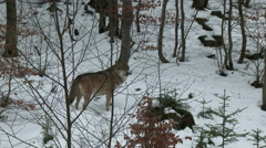 Gray wolf (Canis lupus) in winter forest, - stock footage