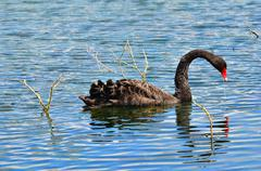 Black swan - Cygnus atratus Stock Photos