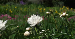 Close-up of white peonies blooming in the grounds of Arlington House, Arlington Stock Footage